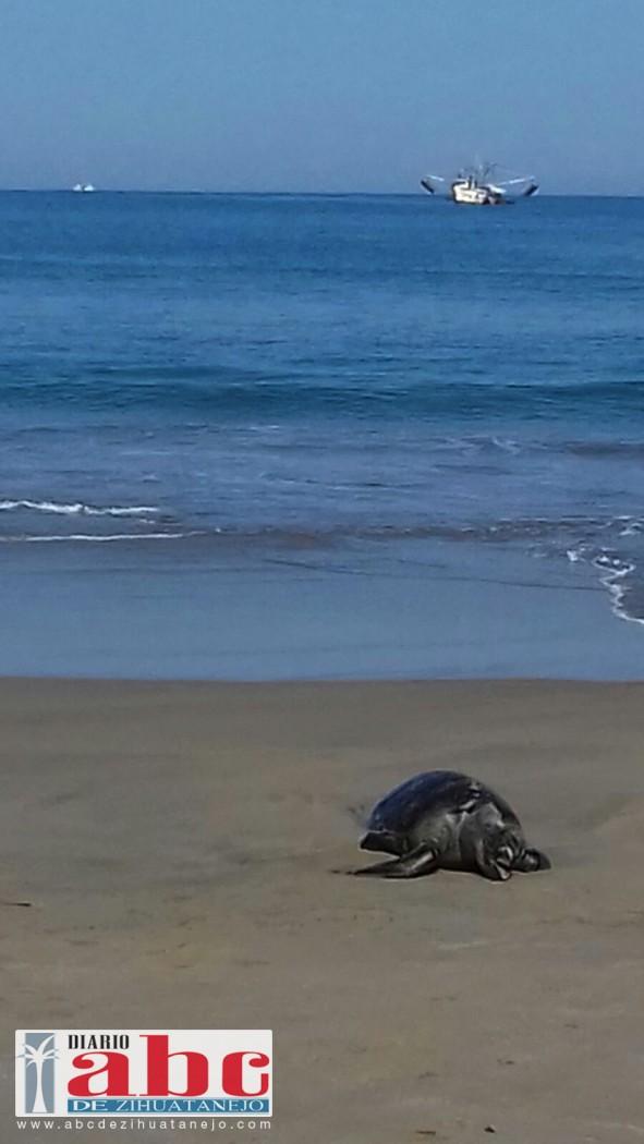 Photo of Siguen saliendo tortugas marinas muertas en playas del municipio