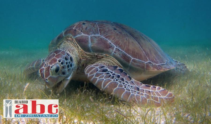 Photo of Se duplica el número de cría de tortuga Golfina liberadas