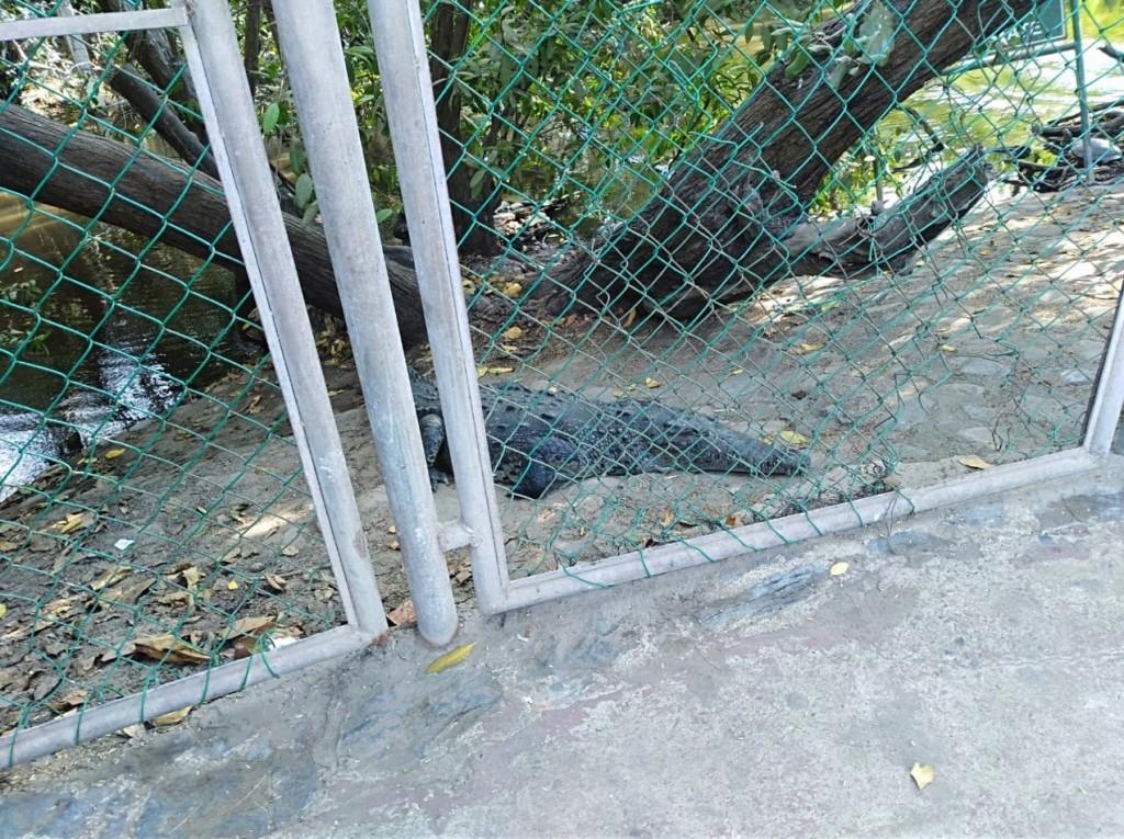 cocodrilo-ixtapa-.jpg