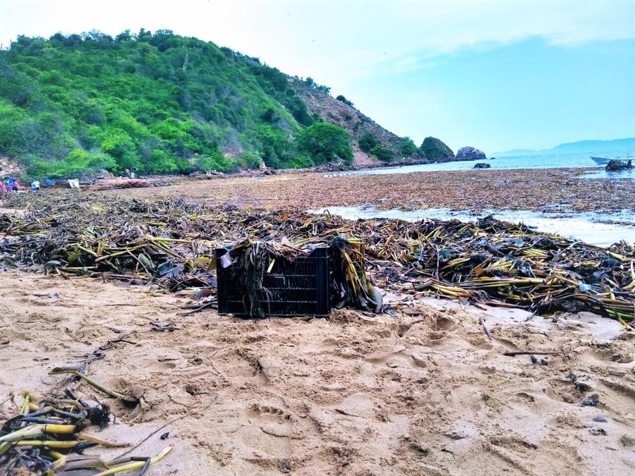 Photo of Toneladas de basura vegetal en playa Varadero de la isla