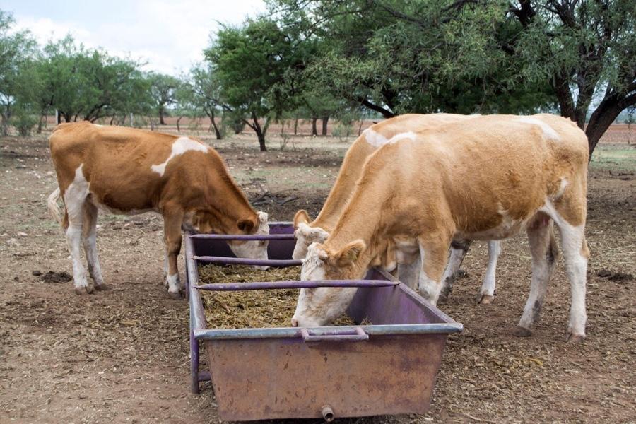 Photo of Mueren vacas finas por la resequedad de la tierra